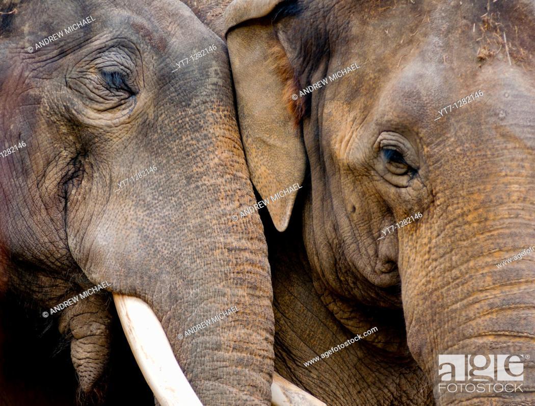 Stock Photo: Loving elephants.