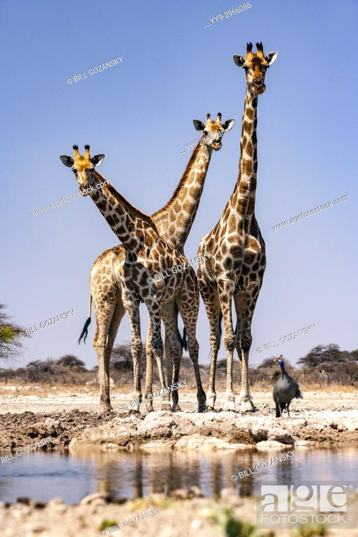 Stock Photo: Group of Giraffe at Onkolo Hide, Onguma Game Reserve, Namibia, Africa.
