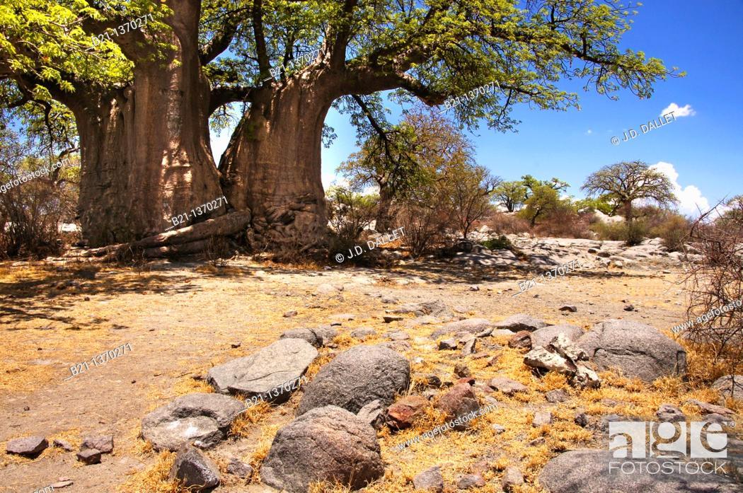 Stock Photo: Baobab trees on the Lekhubu Island, Botswana.