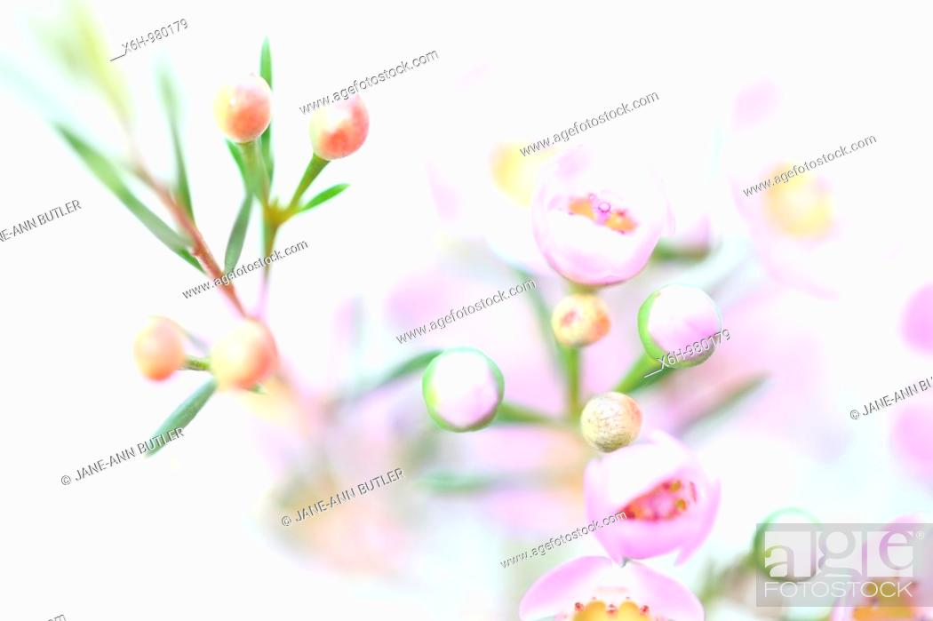 Stock Photo: Charming Pink Wax Flower on White.