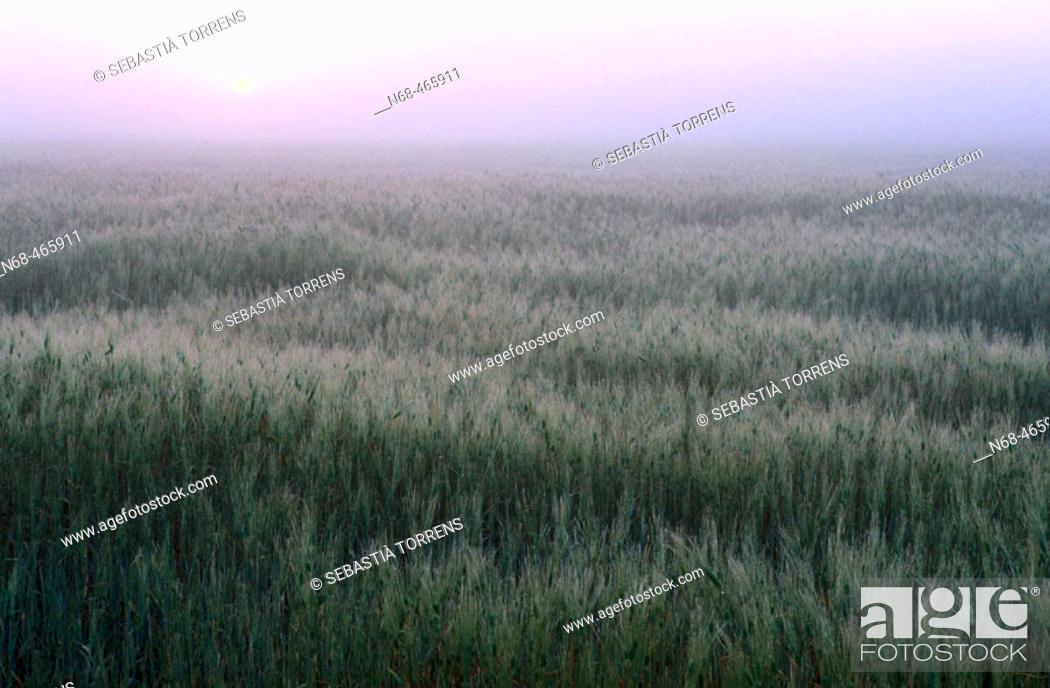 Stock Photo: Wheat field at sunrise.