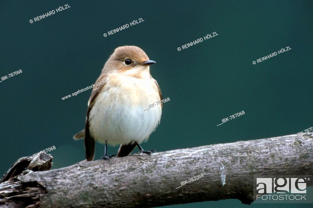 Stock Photo: European Pied Flycatcher (Ficedula hypoleuca), Schwaz, Tyrol, Austria, Europe.