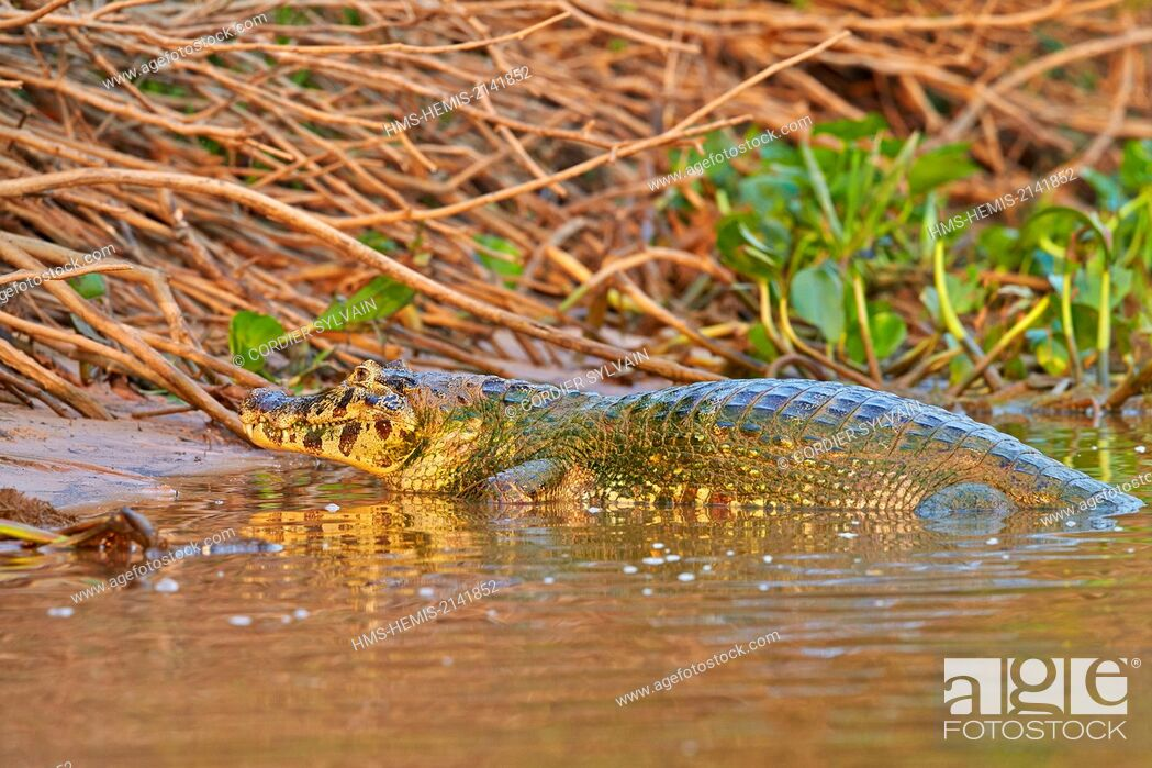 Stock Photo: Brazil, Mato Grosso, Pantanal region, Yacare caiman (Caiman yacare), resting on the bank of the river.