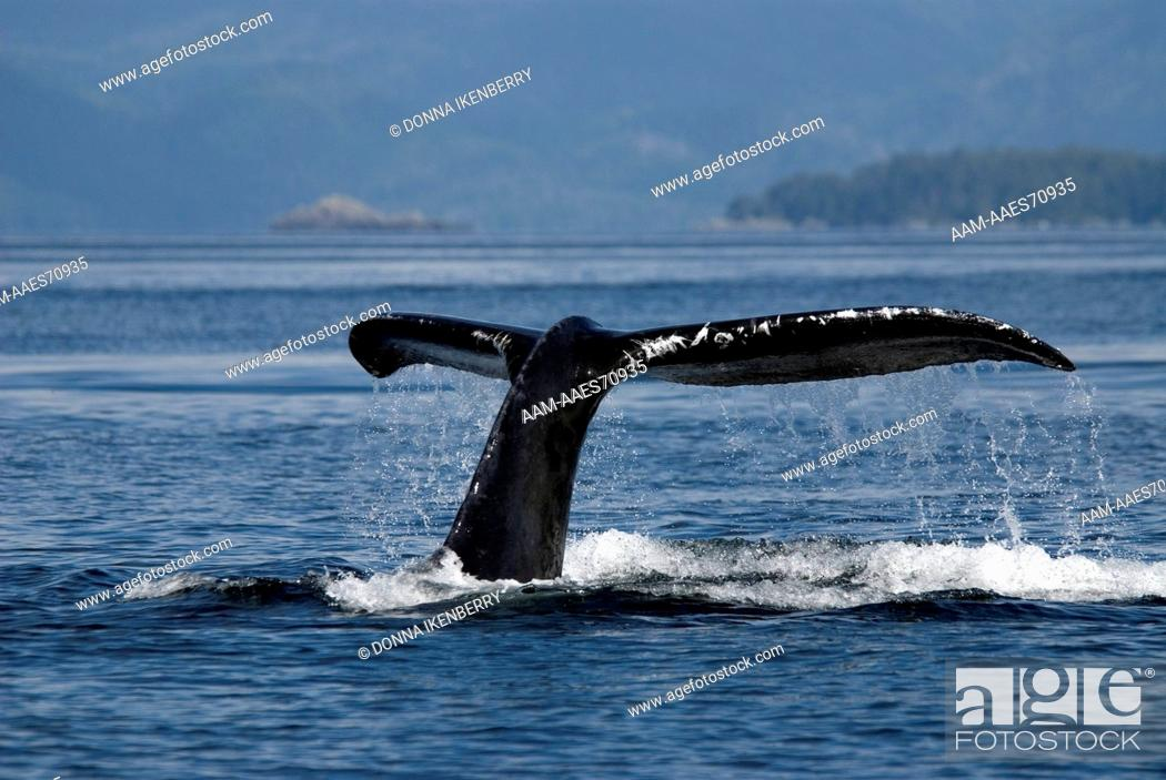 Stock Photo: Humpback Whale, Megaptera novaeangliae, Sitka Sound, Alaska, Aug 2007.