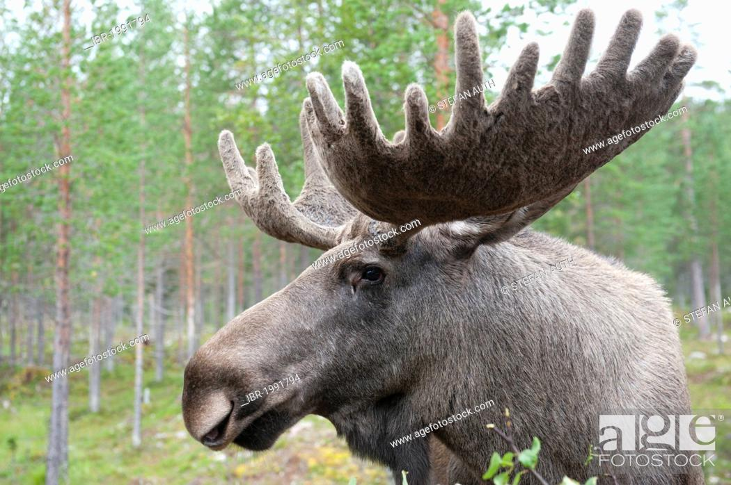 Stock Photo: Moose (Alces alces), 7-year-old bull moose with large antlers covered in velvet, portrait, Moose Park, near Fulufjaellets National Park, Moerkret near Saerna.