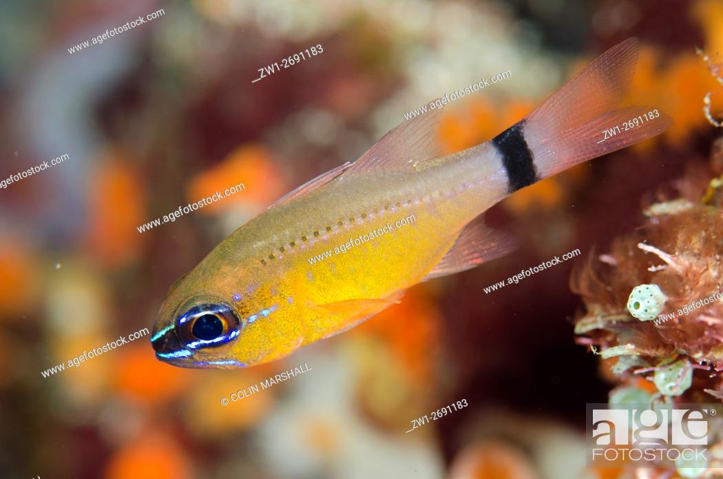 Stock Photo: Ringtailed Cardinalfish (Ostorhinchus aureus), Anti-chovie Sea Mount dive site, Farondi Island, Misool, Raja Ampat (4 Kings), West Papua, Indonesia.