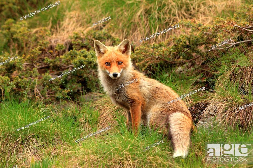 Stock Photo: Fox (Vulpes vulpes) in the National Park Gran Paradiso. Italy.