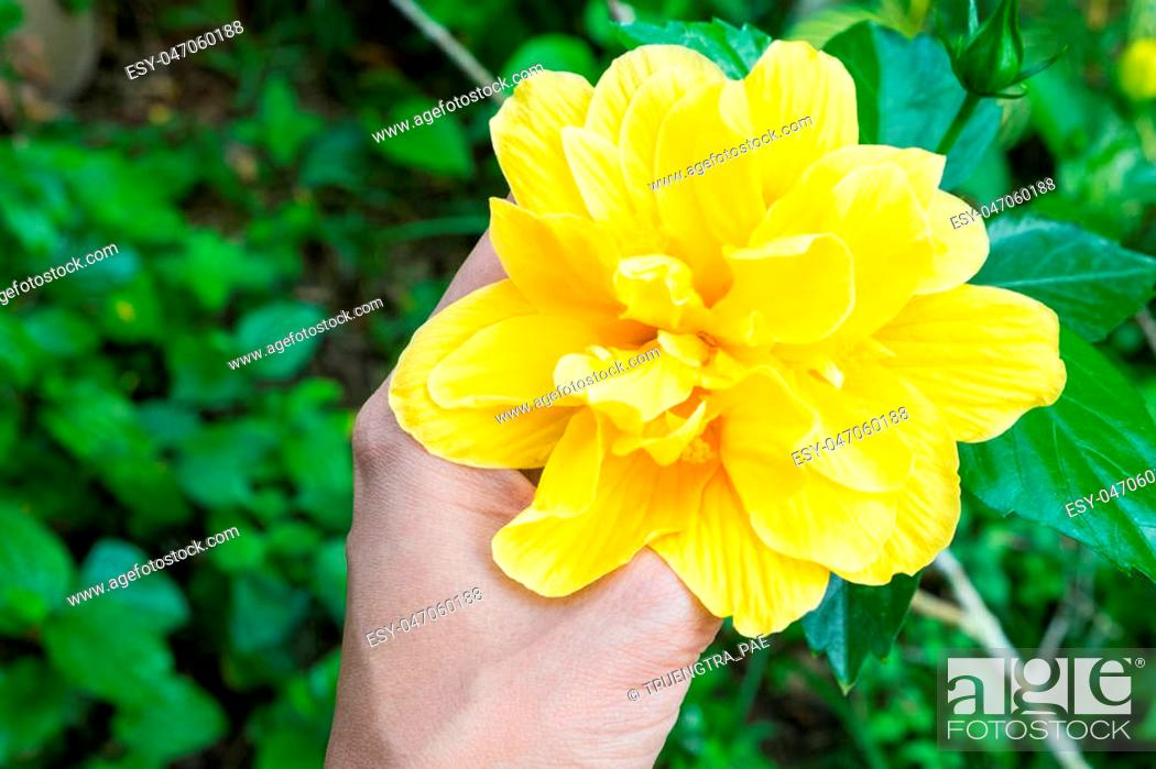 Stock Photo: yellow flower on my hand in the garden , This flower is hibiscus or china rose.