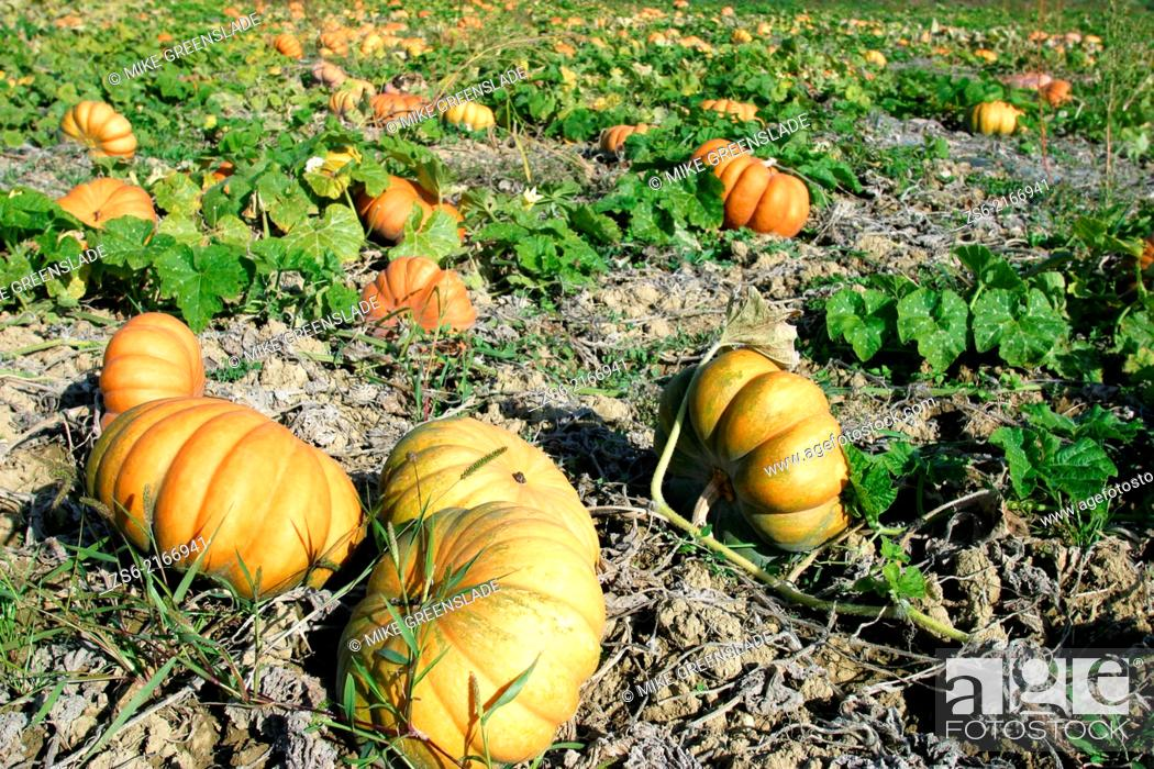 Imagen: Field of pumpkins, Provence, France.