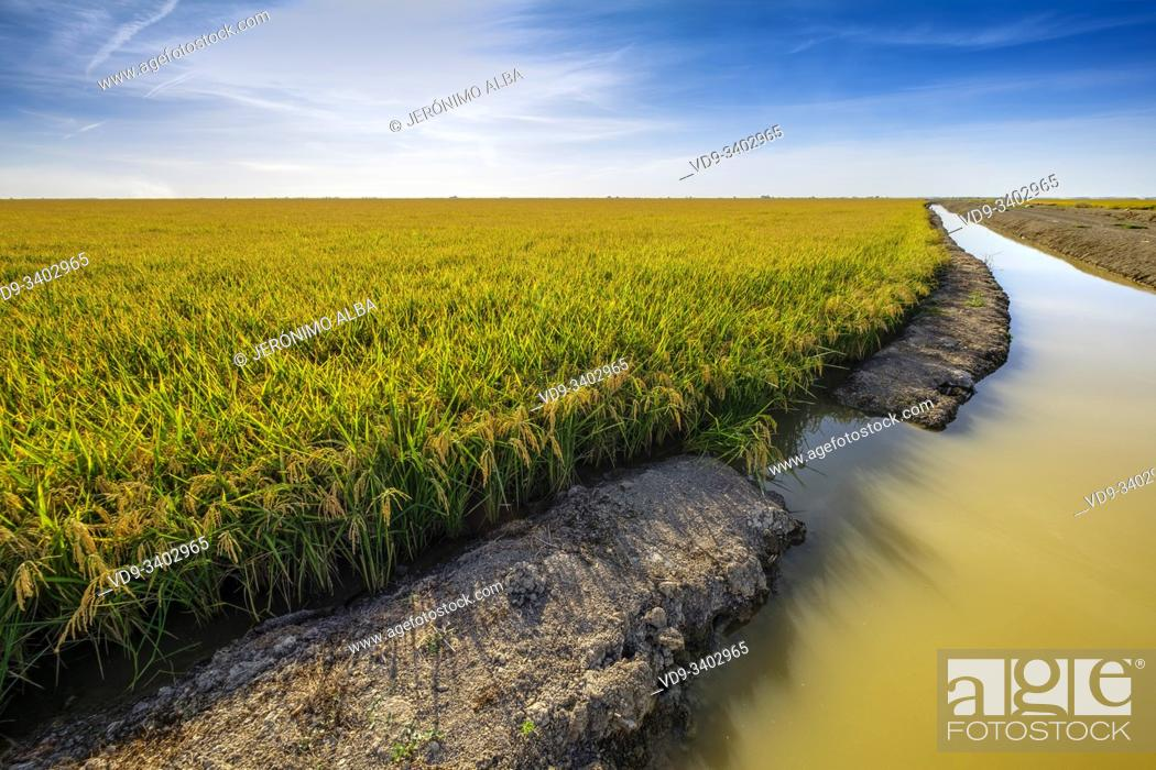 Imagen: Rice fields in the Guadalquivir river delta near Los Palacios y Villafranca, Sevilla province. Southern Andalusia, Spain. Europe.