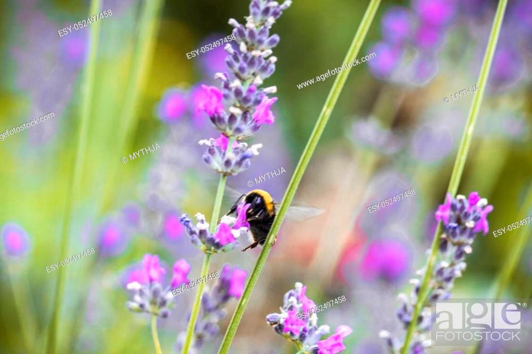 Stock Photo: Floral background. Lavender flowers in nature with sunlight beams. Bokeh background.