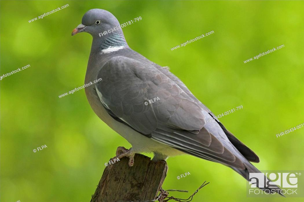 Stock Photo: Wood Pigeon Columbus palumbus adult, perched on fence post, Borders, Scotland, spring.