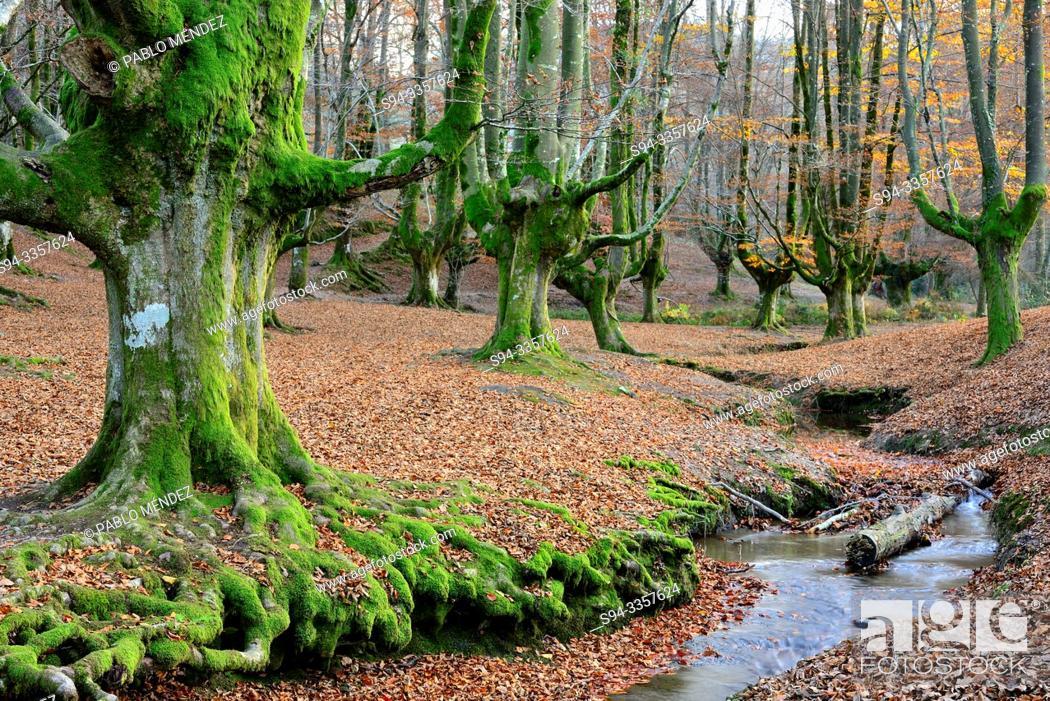 Stock Photo: Beech wood of Otzarreta, Biscay, Basque Country, Spain.
