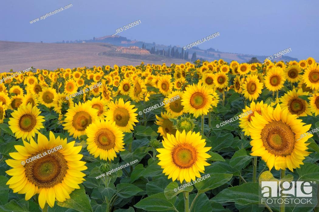 Stock Photo: Field of Sunflowers, San Giovanni d'Asso, Tuscany, Italy.