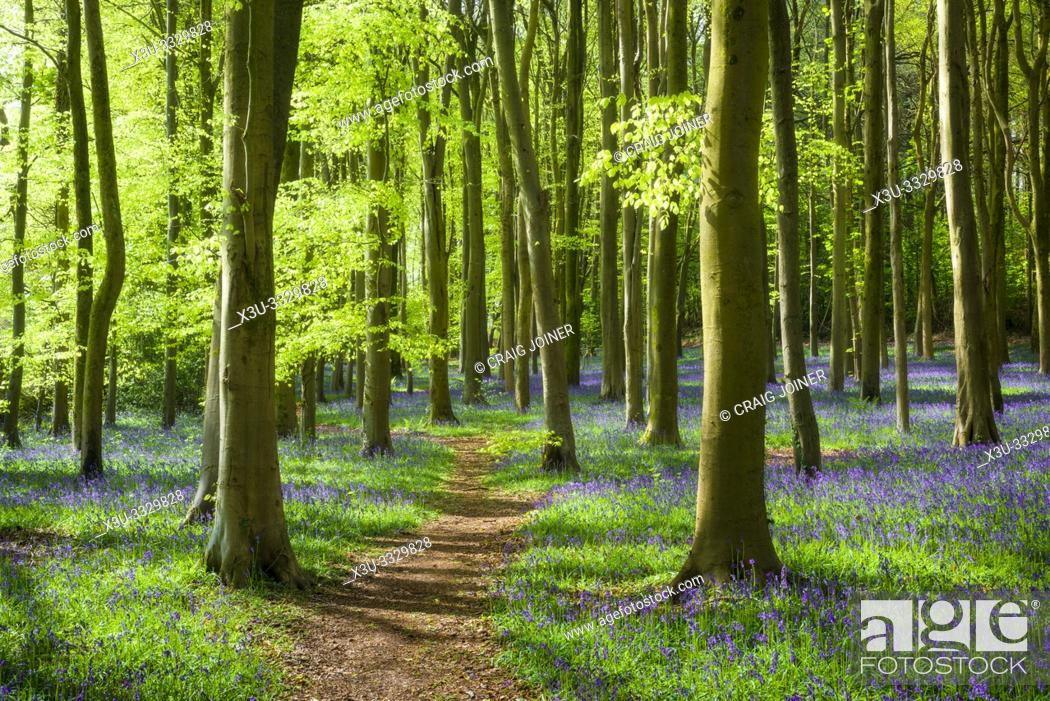 Stock Photo: A Bluebell Wood near Wrington in North Somerset, England.