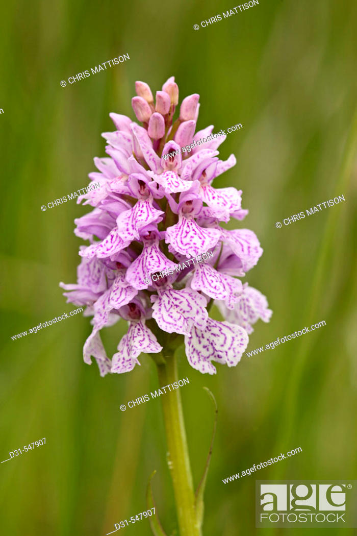 Stock Photo: Heath Spotted Orchid, Dactylorhiza maculata, Grass Point, Mull, Scotland.