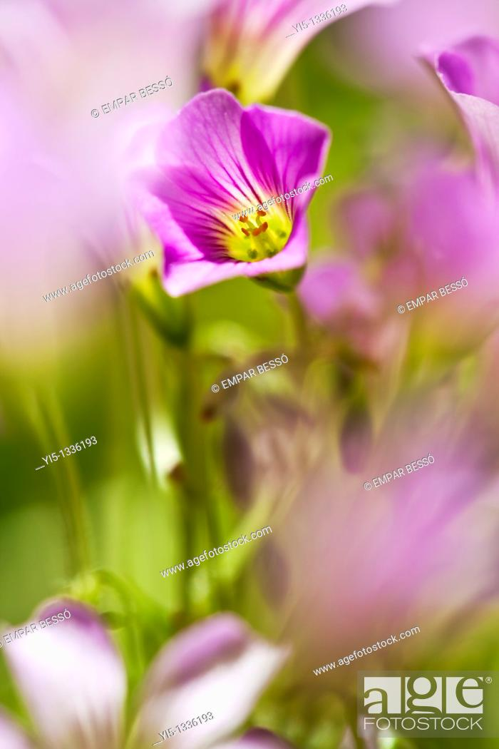 Stock Photo: Oxalis articulata, pink wood sorrel. Valencia. Spain.