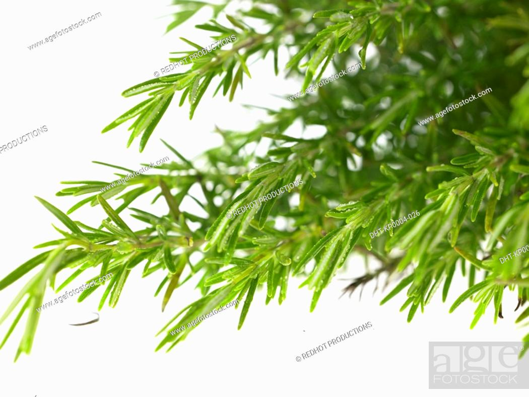 Stock Photo: Bunch of Rosemary sprigs.