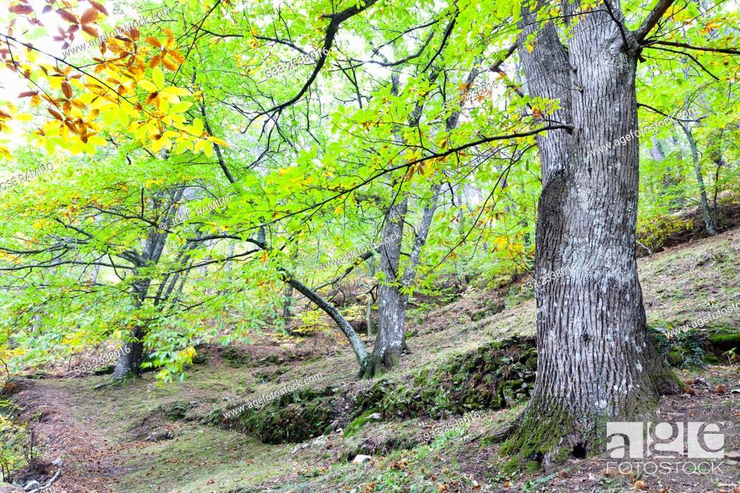 Stock Photo: Chestnuts in Casillas. Avila. Castilla Leon. Spain. Europe.