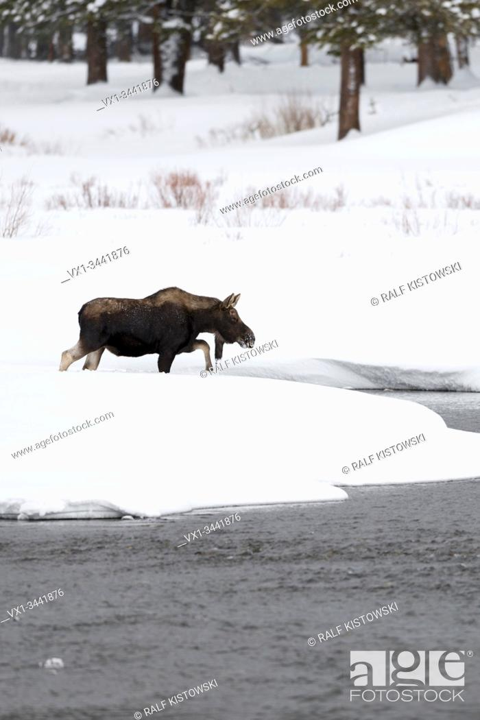 Stock Photo: Moose / Elch ( Alces alces ) bull in winter, crossing a river, walking though a creek, surrounded by a lot of snow, Yellowstone NP, Wyoming, USA. .
