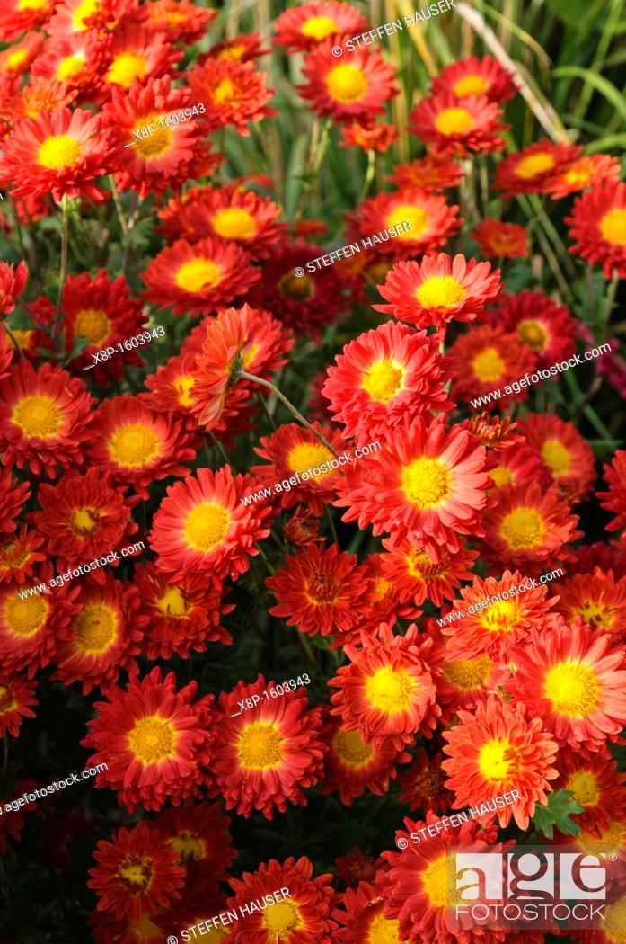 Stock Photo: Chrysanthemum Chrysanthemum indicum 'Rumpelstilzchen'.