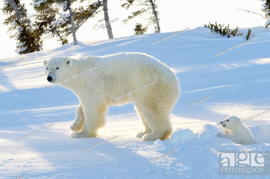 Stock Photo: Polar bear (Ursus maritimus) mother with cub coming out freshly opened den, Wapusk national park, Canada.