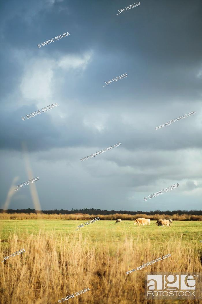 Stock Photo: Cows grazing  Costal path of Le Teich  Arcachon Bay  Gironde  Aquitaine  France.