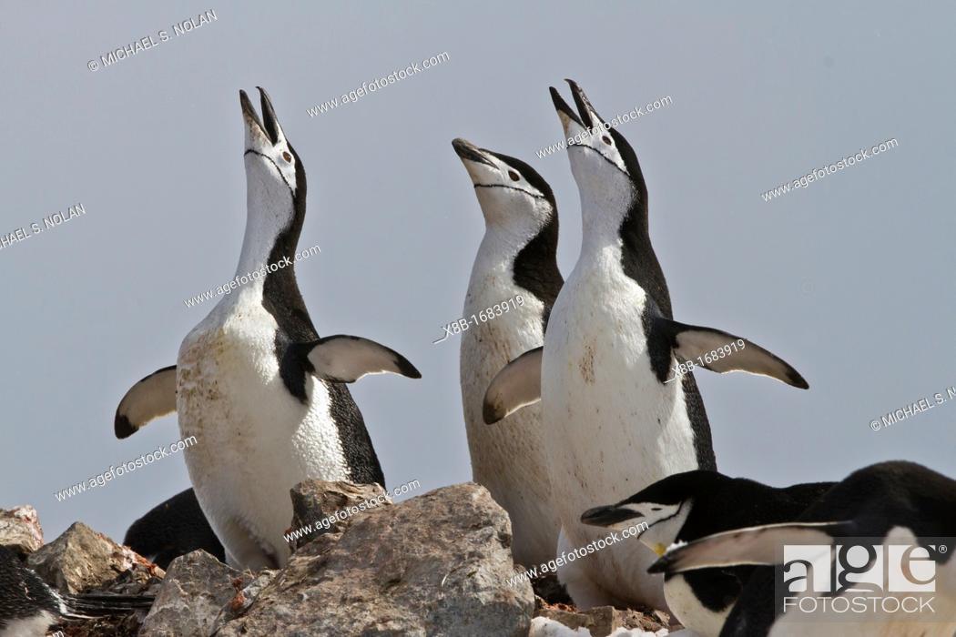 Imagen: Adult chinstrap penguin Pygoscelis antarctica ecstatic display at breeding colony at Half Moon Island, Antarctica, Southern Ocean.