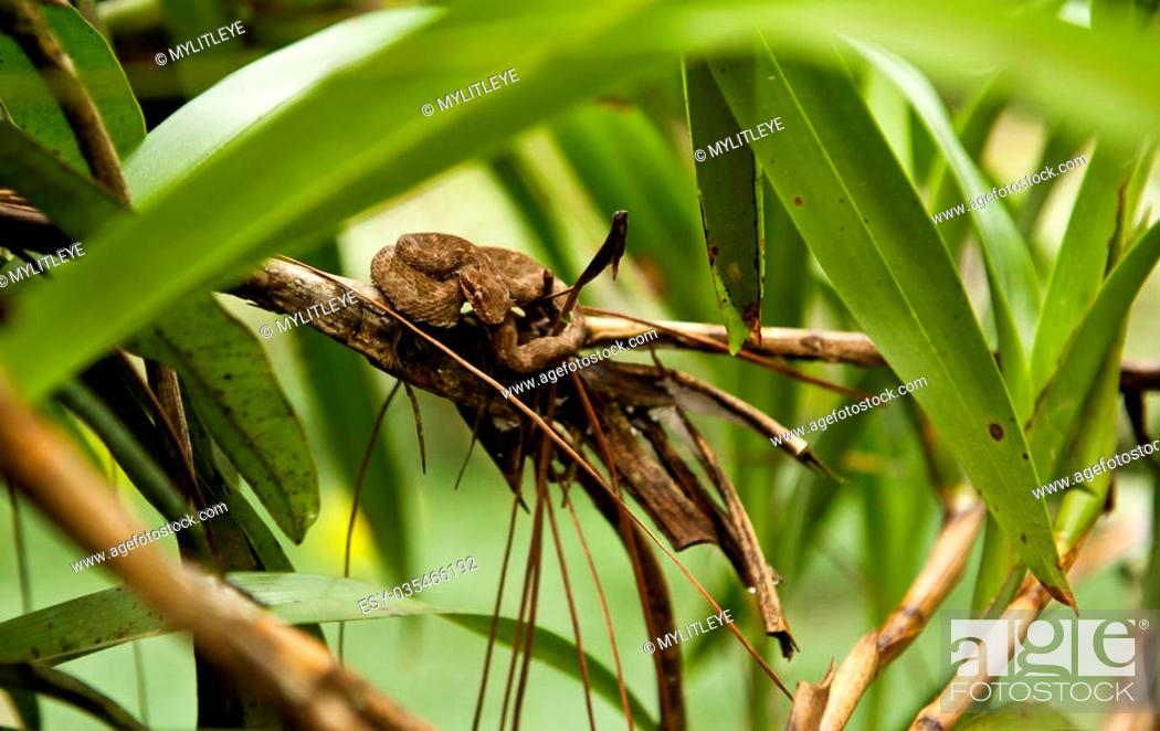Stock Photo: Eyelash viper coiled on a branch in the Costa Rican rainforest.