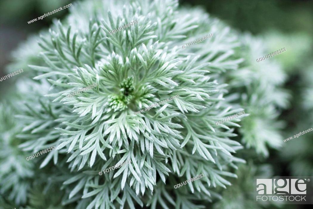 Stock Photo: Artemisia schmidtiana.
