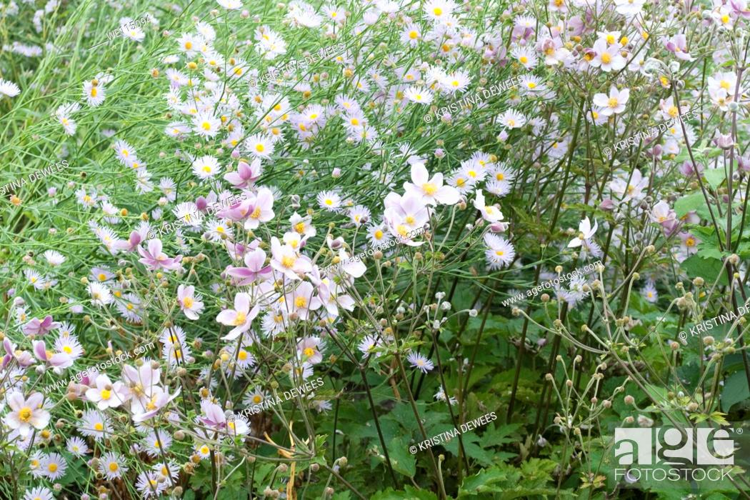 Stock Photo: Pale lilac Asters and light pink Anenome flowers.