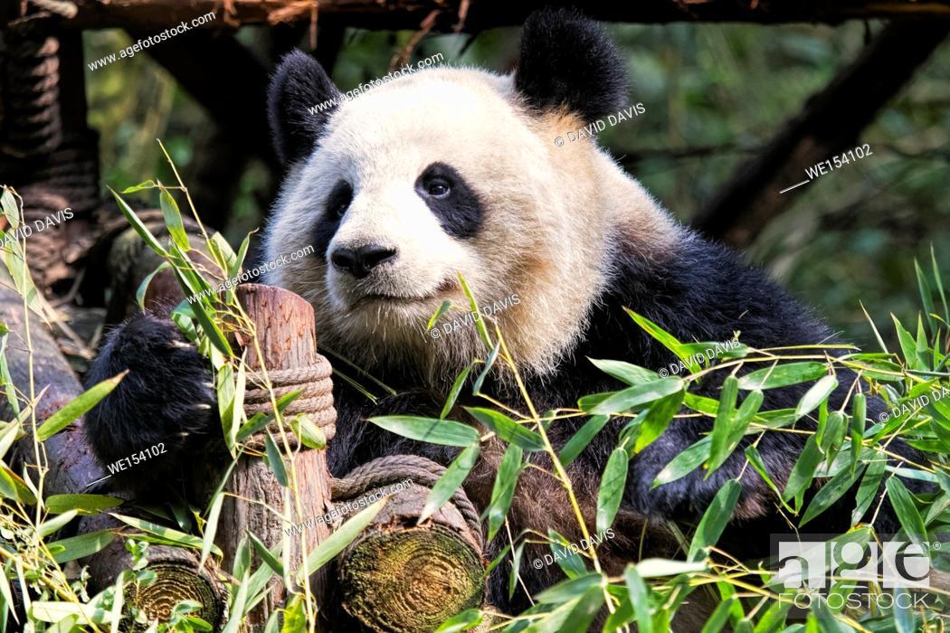 Stock Photo: Adult Giant Panda eating bamboo at the Chengdu Research Base of Giant Panda Breeding, Chengdu, China.