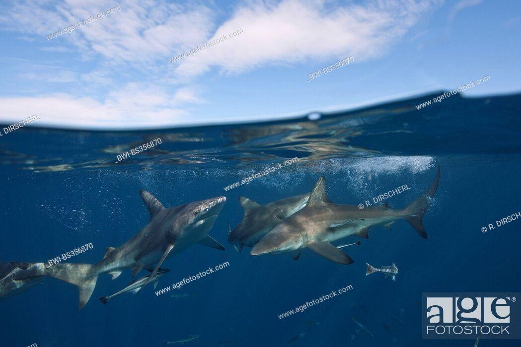 Imagen: blacktip shark (Carcharhinus limbatus), at the water surface, split image, South Africa, Indian Ocean, Aliwal Shoal.