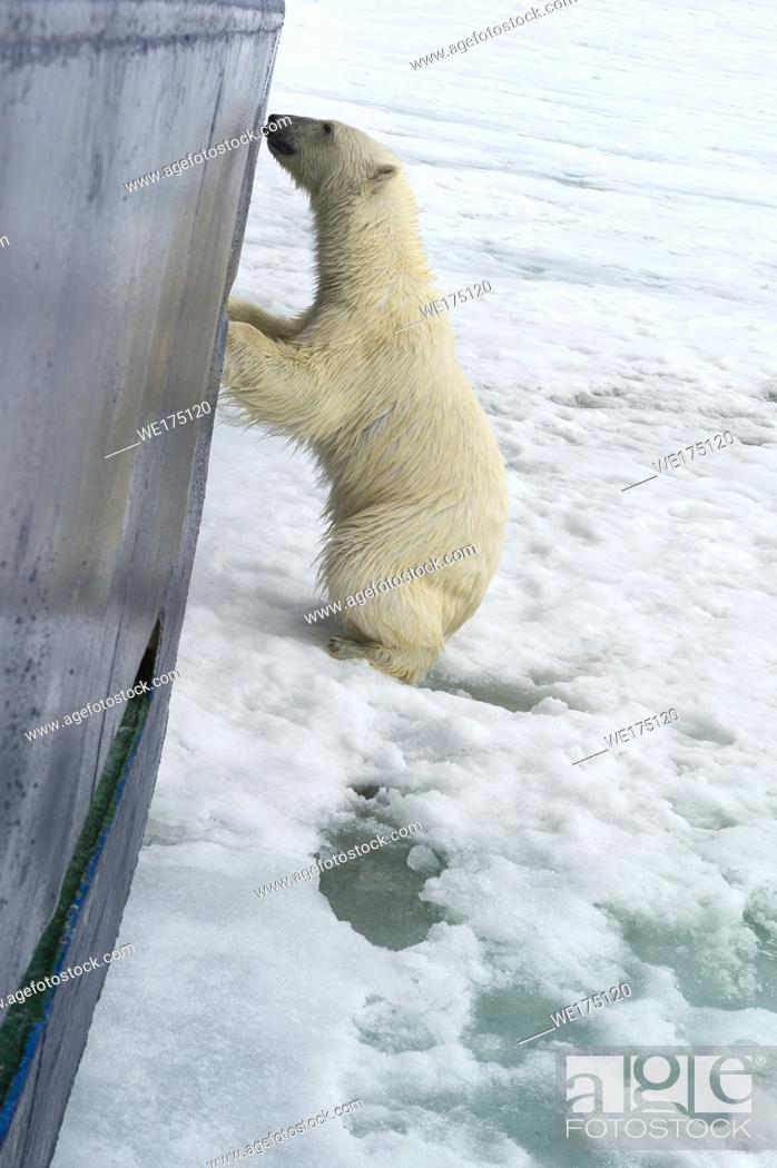 Stock Photo: Curious Polar Bear (Ursus maritimus) springing on ship's hull and trying to enter through a porthole, Svalbard Archipelago, Norway.