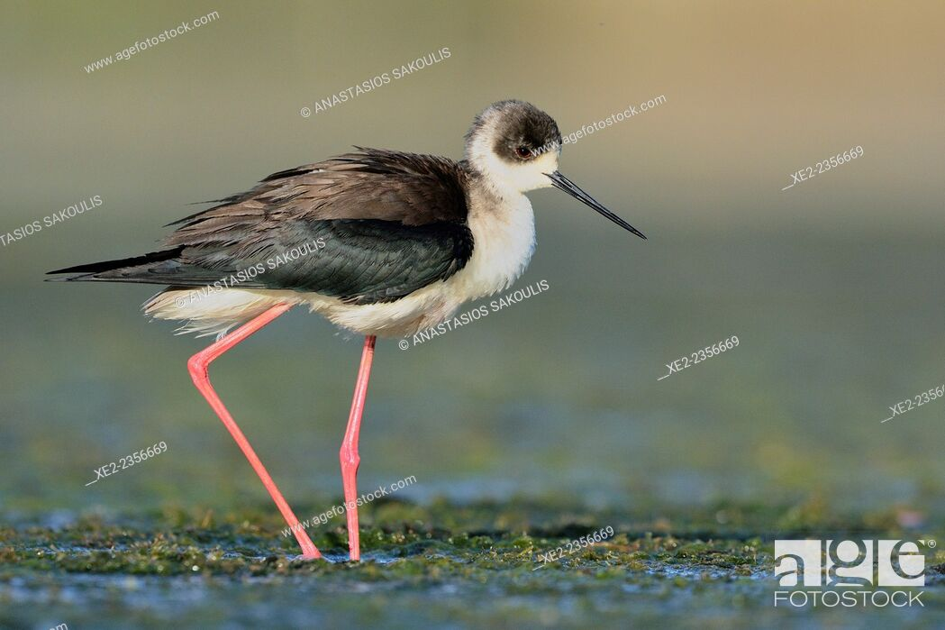 Stock Photo: Black-winged Stilt - Himantopus himantopus at the shore of Agia lake, Crete, Greece.