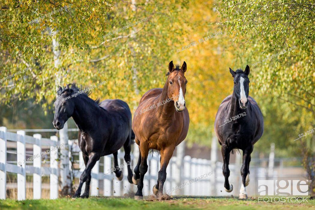 Stock Photo: Hanoverian Horse. Three adults galloping towards the camera. Germany.