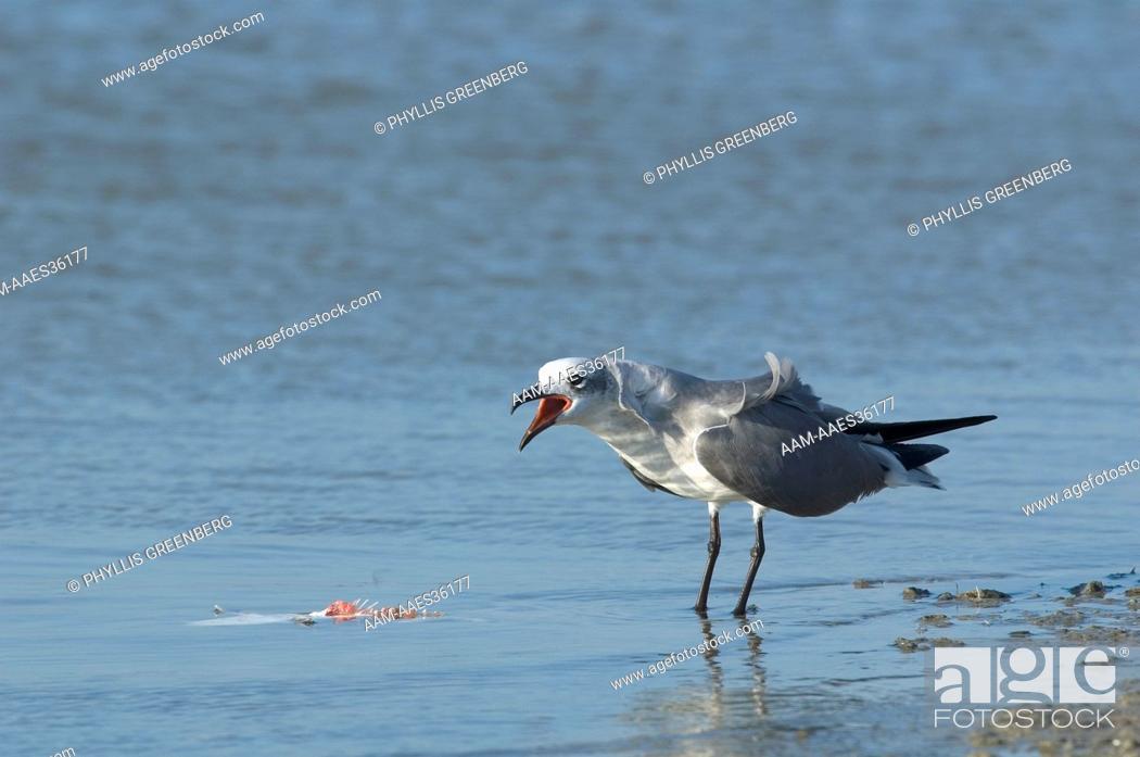 Stock Photo: Laughing Gull (Larus atricilla) Marco island, Fl.