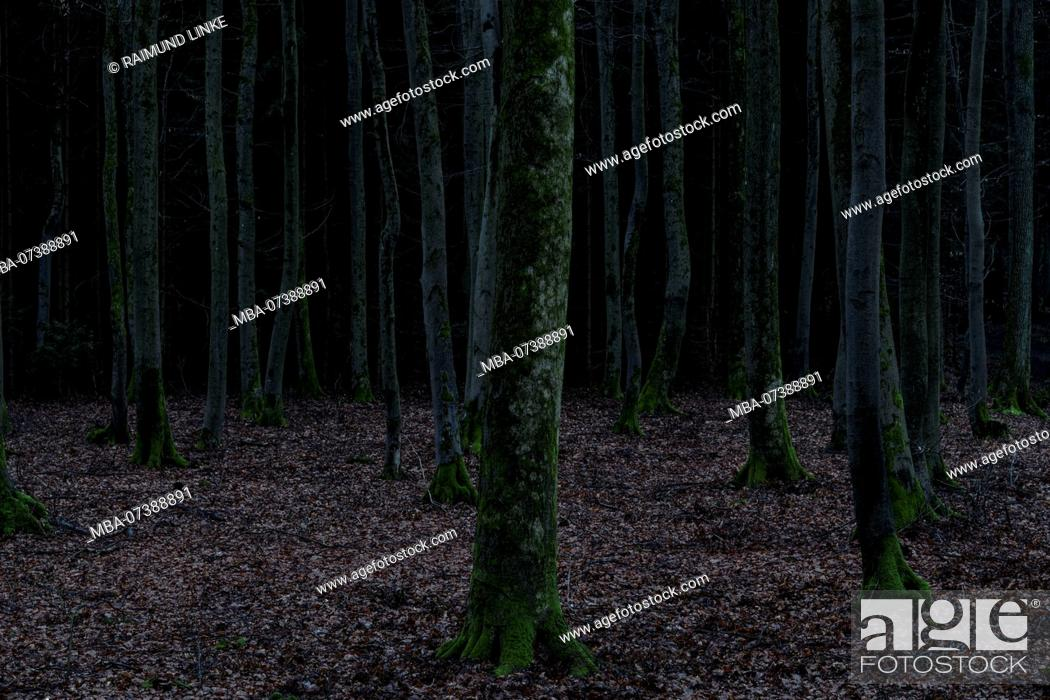 Stock Photo: Sinister forest at dawn in early spring, Spessart, Bavaria, Germany.