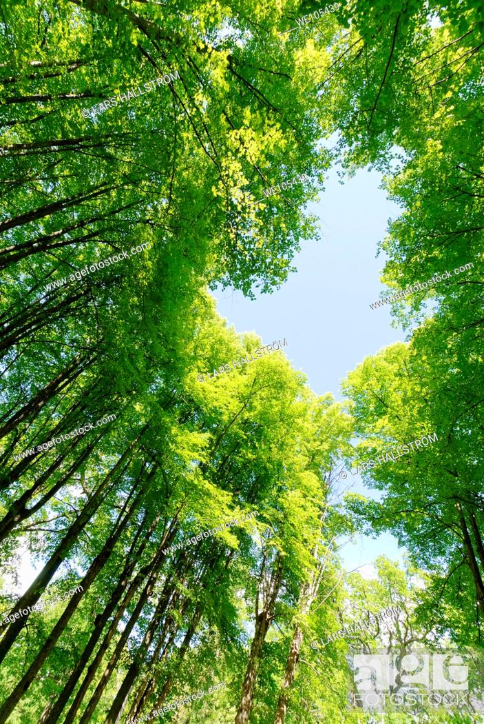 Stock Photo: Low angle view of trees with the sky in shape of an arrow, Sweden.