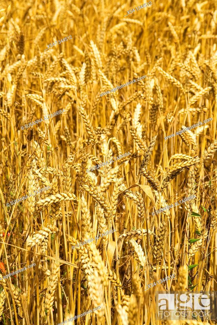 Imagen: Ripe Wheat - Triticum. Photo taken in Solsonès, Lleida, Spain, Europe.