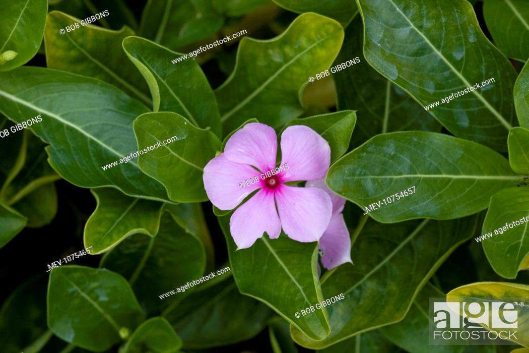 Stock Photo: Madagascar / Rosy Periwinkle - grown in gardens, but also highly-active medicinally, with at least 70 alkaloids (Catharanthus roseus).