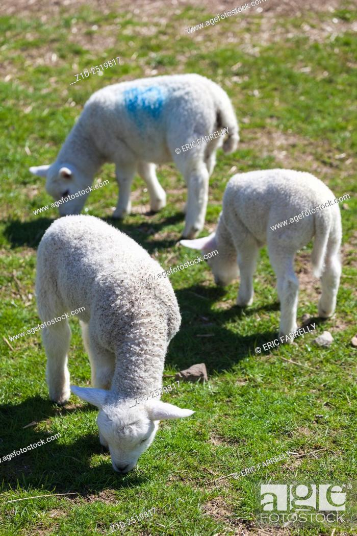 Imagen: Spring lambs. Auchingarrich wildlife park Perthshire Scotland UK.