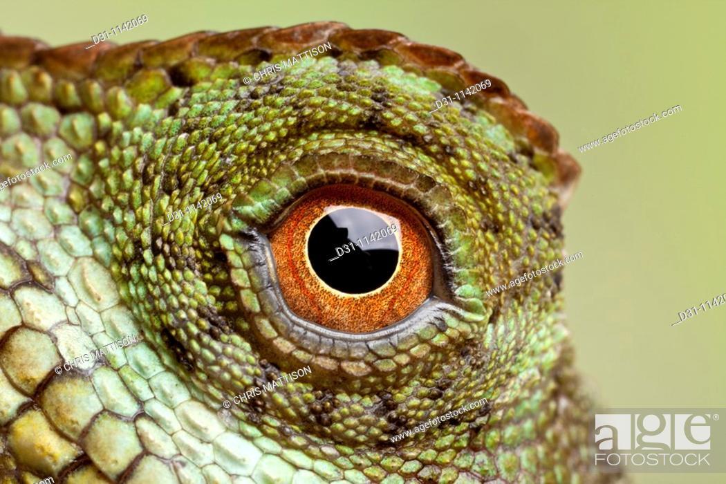 Stock Photo: Mountain Horned Lizard (Acanthosaura crucigera), Asia.