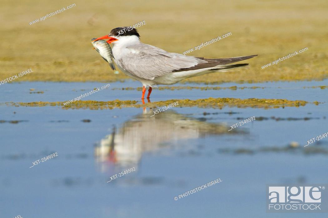 Stock Photo: Common tern (Sterna hirundo) adult on the beach with a fish in its bill. This seabird is found in the sub-arctic regions of Europe.