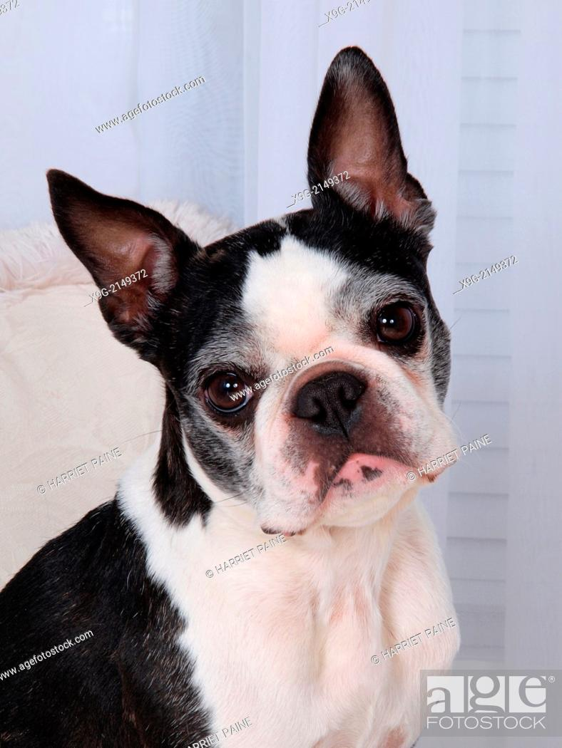 Stock Photo: Boston Terrier.