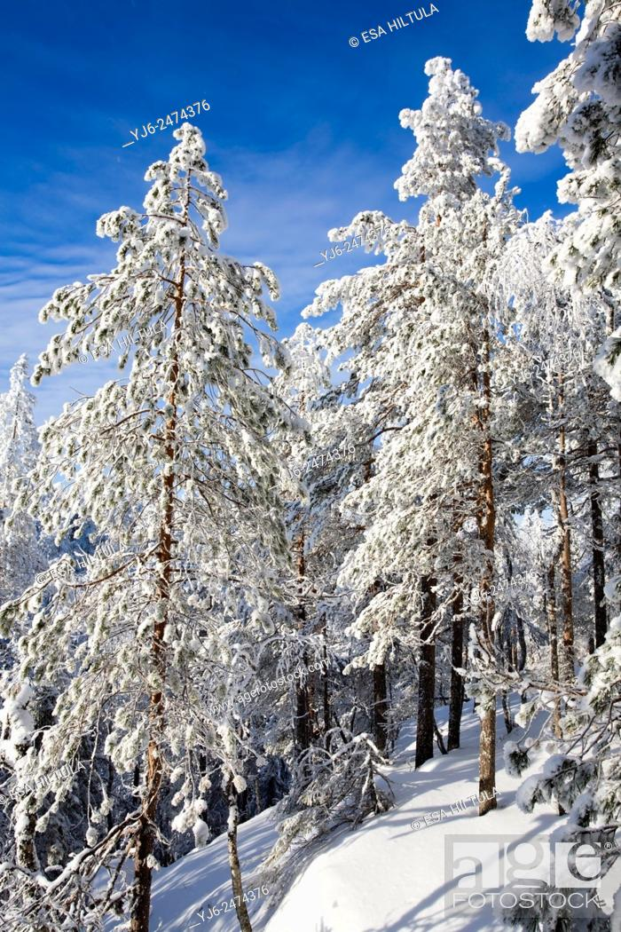Stock Photo: winter scenery, Vuokatti Sotkamo Finland.