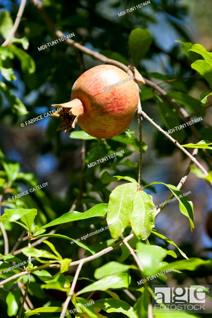 Imagen: Tunisia - Tozeur - Pomegranate in a tree in the palm grove.