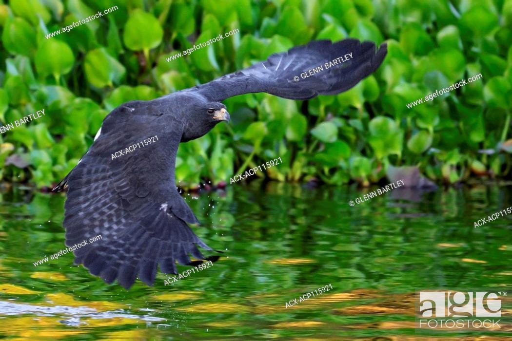 Stock Photo: Great Black Hawk (Buteogallus urubitinga) flying in the Pantanal region of Brazil.