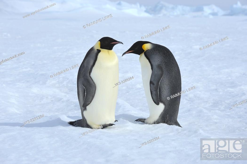 Photo de stock: Emperor penguins, Aptenodytes forsteri, Two Adults, Snow Hill Island, Antartic Peninsula, Antarctica.