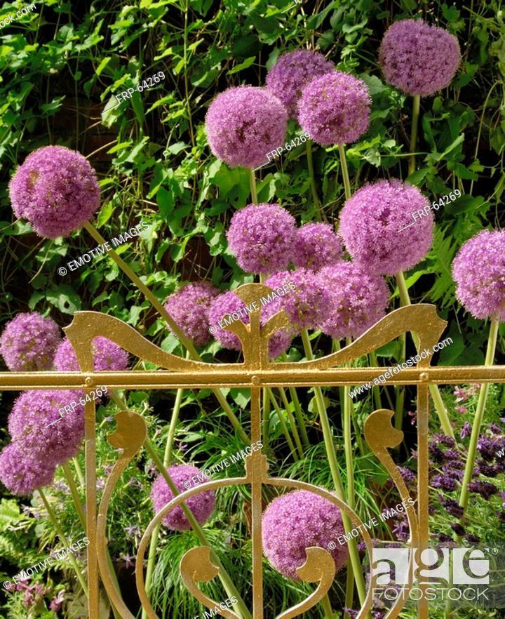 Stock Photo: Globularia.